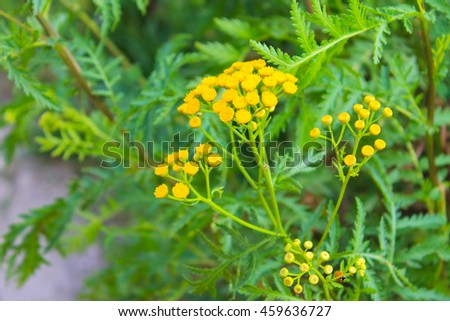 Tansy flower on the meadow - stock photo