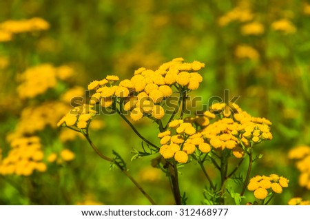 Tansy Tanacetum vulgare  also known as Common Tansy, Bitter Buttons, Cow Bitter, Mugwort, or Golden Buttons - stock photo
