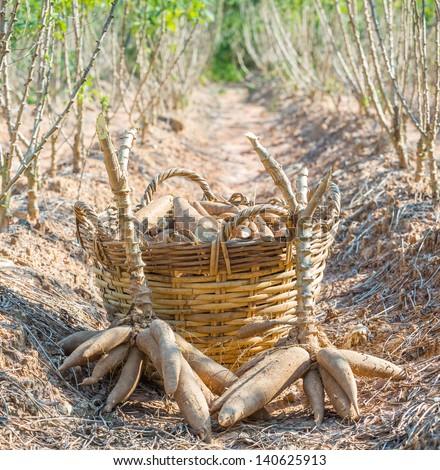 Tapioca - cassava or manioc plantation and harvest in eastern of Thailand - stock photo