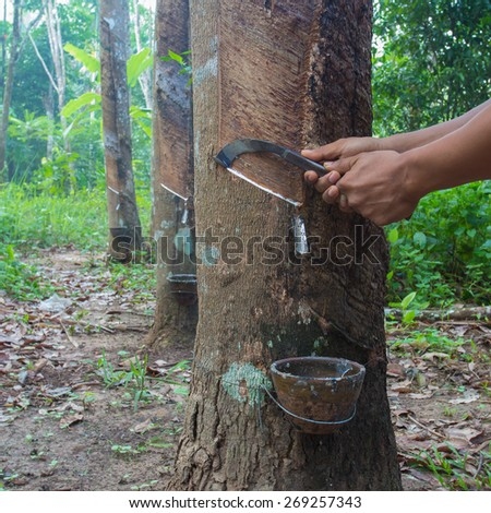 Tapping latex from a rubber tree, Thailand. - stock photo