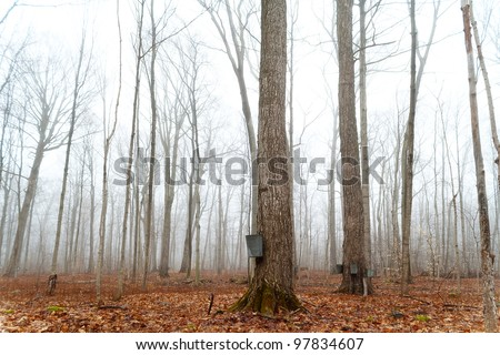 Tapping maple trees for sap to make maple syrup - stock photo