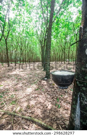 Tapping sap from the rubber tree - stock photo