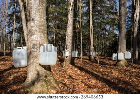 Tapping sugar maple trees for sap, which will be made into syrup.  Early morning light paints long shadows in the forest.  The sun is shining on the bottles.  Food collection in the north woods. - stock photo
