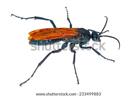 Tarantula Hawk / Spider Wasp (Pepsis caridei) isolated on a white background. Patagonia, Argentina, South America. - stock photo
