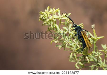 Tarantula Hawk wasp (Pepsis species) on South Kaibob Trail of Grand Canyon National Park, AZ. - stock photo