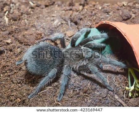 Tarantula spider (Grammostola pulchra) macro. - stock photo
