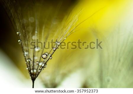 taraxacum and droplets in yellow - stock photo