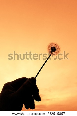 Taraxacum officinale in my hand - stock photo
