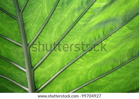 Taro leaf (Colocasia esculenta) - stock photo