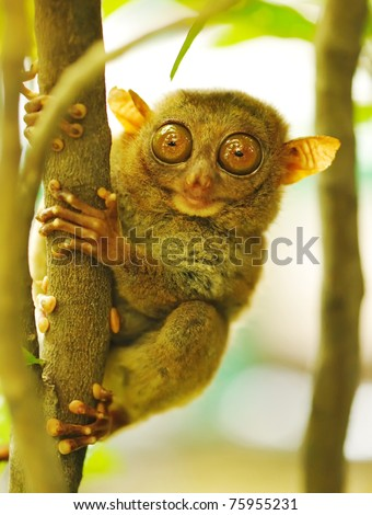 Tarsier monkey in natural environment - stock photo