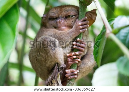 Tarsier sleeping in a tree at Bohol Tarsier sanctuary, Philippines - stock photo