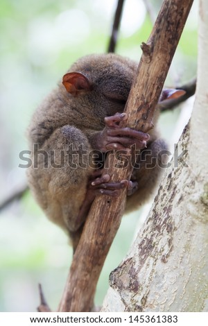 Tarsier (Tarsius Syrichta) is sleeping, Bohol, Philippines - stock photo
