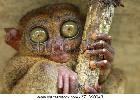 Tarsier with big green eyes, Bohol Island, Philippines - stock photo