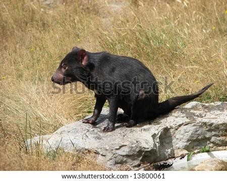 Tasmanian devil - stock photo