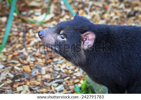Tasmanian Devil, Australia - stock photo