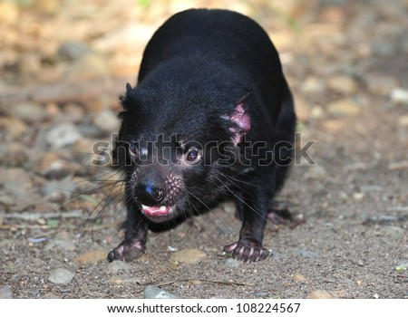 tasmanian devil close up full frame, australia, exotic endangered mammal / marsupial - stock photo