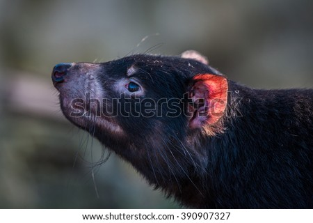 Tasmanian devil close-up with a red ear - stock photo