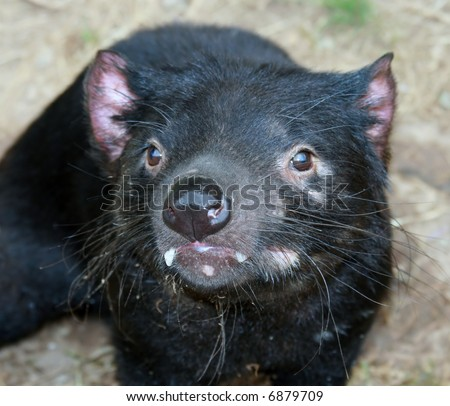 Tasmanian Devil Closeup - stock photo