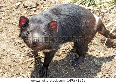 Tasmanian Devil, Freycinet National Park, Tasmania, Australia - stock photo