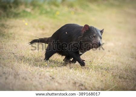 Tasmanian devil's running in a grass field - stock photo