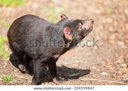 Tasmanian devil, Sarcophilus harrisii - stock photo