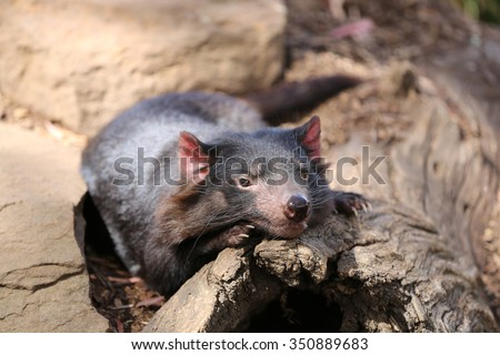 Tasmanian Devil (Sarcophilus harrisii). Australia - stock photo