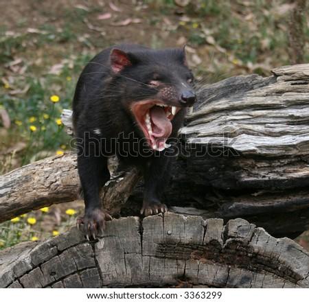 Tasmanian Devil (Sarcophilus harrisii) Growling - stock photo