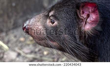 Tasmanian devil (Sarcophilus harrisii) seen from the side - stock photo