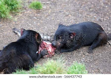 Tasmanian Devil (Sarcophilus harrisii). Tasmania - stock photo