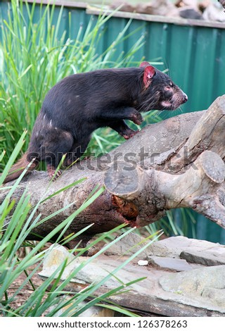 Tasmanian Devil, Tasmania, Australia - stock photo