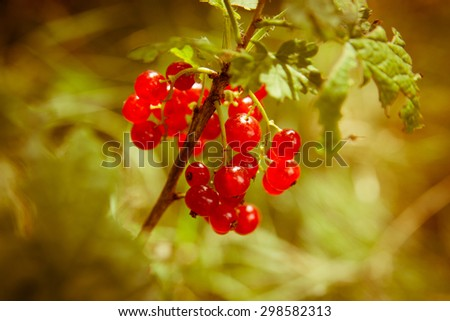 tasty and juicy red currant in the garden - stock photo