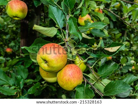 Tasty apples hanging on branches of low apple trees and almost ready for picking. - stock photo