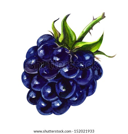 tasty blackberry. watercolor painting on white background - stock photo