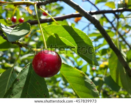 Tasty red cherries, green leaves and blue sky/Tasty red cherries, green leaves and blue sky/Tasty red cherries, green leaves and blue sky - stock photo