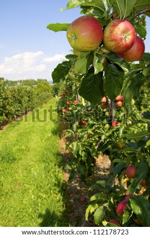 Tasty, ripe apples growing in a plantation. - stock photo