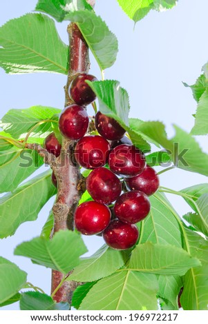 Tasty ripe cherry dark red berry fruits on tree branch with leaves against blue sky - stock photo