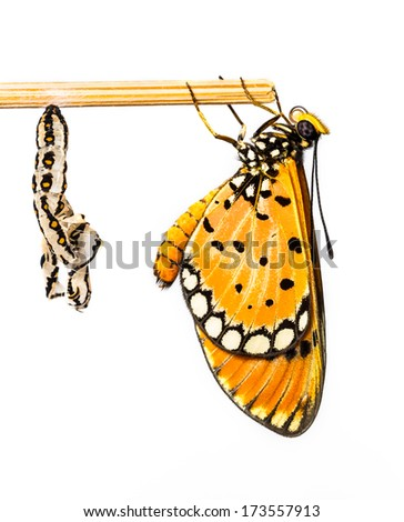 Tawny Coster butterfly and cocoon on white background - stock photo