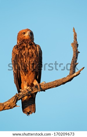 Tawny eagle (Aquila rapax) perched on a branch, Kalahari, South Africa - stock photo