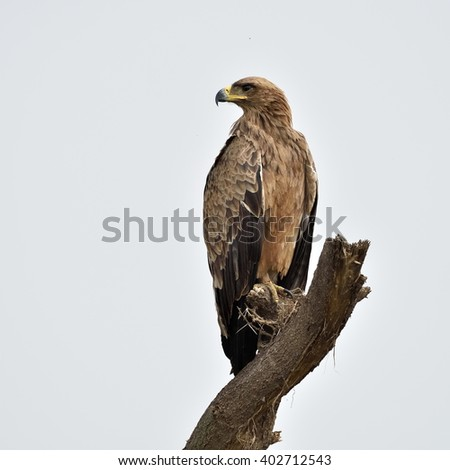 Tawny eagle (Aquila rapax) sitting on branch - stock photo