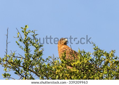 Tawny eagle sitting and looking a tree - stock photo