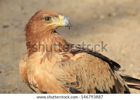 Tawny Eagle - Wild Raptor Backgrounds from Africa - Stare of the Eagle.  Photographed in Namibia.  - stock photo