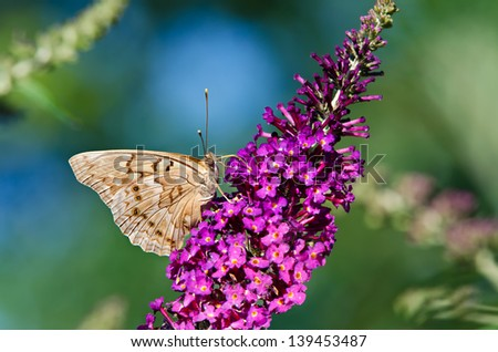 Tawny Emperor butterfly (Asterocampa clyton) feeding on purple butterfly bush flowers. Natural green and blue background. - stock photo