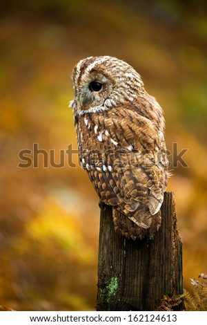 Tawny Owl against a background of burnt orange autumn bracken/Tawny Owl/Tawny Owl - stock photo