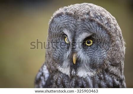 Tawny owl close up shot - stock photo