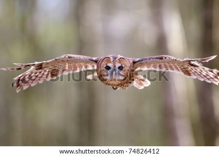 Tawny owl flying through the trees - stock photo