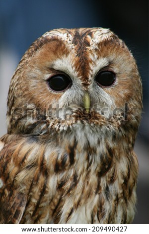 Tawny owl on dark background (Strix aluco) - stock photo