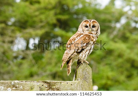 Tawny Owl on fence / Tawny Owl (strix aluco) also known as the brown owl perched on fence - stock photo
