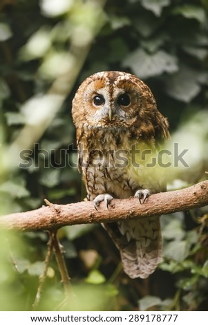 tawny owl on the branch - stock photo