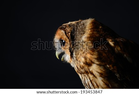 Tawny Owl, or Brown Owl (Strix aluco). Side profile of Owl looking up to the right. Low key studio shot on black background taken with flash. - stock photo