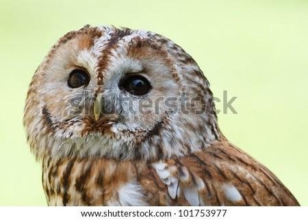 Tawny Owl portrait - stock photo